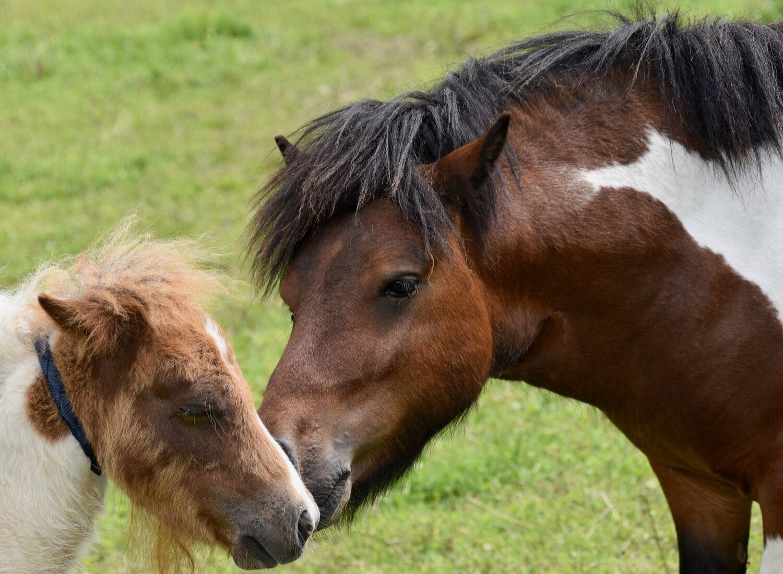 shetland-ponies-4275689_1920_1500x1100_acf_cropped